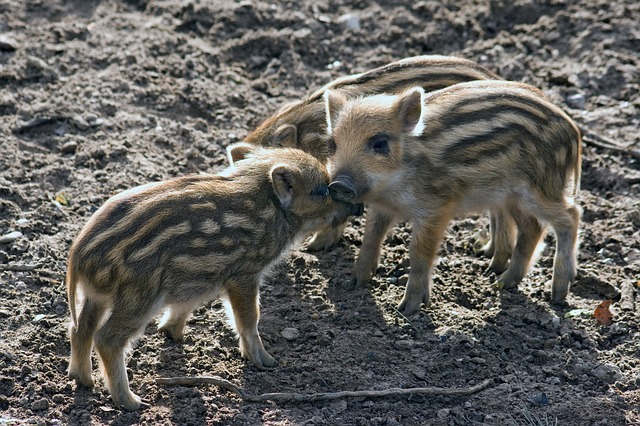 Junge Wildschweine werden Frischlinge genannt